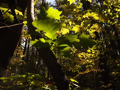 pics 011 (princessrace44m) Tags: autumn trees fall leaves oak woods pics foliage greenbrown