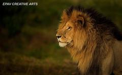 The King of the Masai Mara! (WhiteEye2) Tags: africa kenya wildlife lion bigcats masaimara malelion