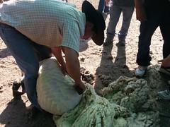 20131012_170036 (Rincón del Aguila) Tags: costumbres chilenas esquila tipicas