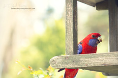 IMG_8076 2 (iltby photography) Tags: bird parrot bluemountains rosella katoomba
