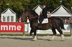"Etalon de race ""Trait Breton"", bred stallion ""trait Breton"" (claude 22) Tags: harasdelamballe chevalbreton corlaybreton cheval chevaux caballo paard paarden άλογο cavallo cavalli cavalo lamballe élevage concours"