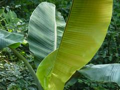 Musa thompsonii (G. King ex K. M. Schumann) A. M. Cowan & J. M. Cowan (MUSACEAE) (helicongus) Tags: spain musa musaceae jardnbotnicodeiturraran musathompsonii