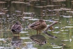 I've got my eye on you. (hey its k) Tags: reflection birds ducks hfg canon6d cherryhillrbg img0410edit