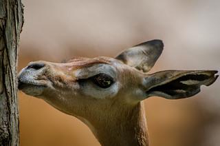 Waller's Gazelle (Litocranius walleri)