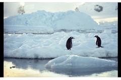 1998_12-007-03-G (becklectic) Tags: reflection bird penguin antarctica 1998 iceberg icefloe views100 antarcticpenninsula worldtrekker
