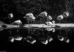 Flamingos and reflections (McMac70) Tags: blackandwhite nature animal natur tier opelzoo schwarzweis pentaxk7 smcpentaxda145650200mmedwr