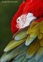 Red (wesjr50) Tags: birds animals canon photography eos zoo is iii flash l 5d mm usm 500 captive macaw ef mk f40 greenwinged