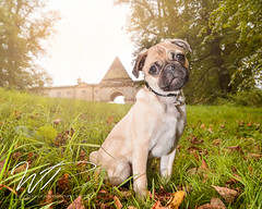Canine Lifestyle Sessions (jesswealleans) Tags: dog dogs puppy photography action outdoor posed lifestyle pug location fawn styled