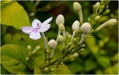 Beautiful flower in my garden (SarojPadhy) Tags: flower flowerwatcher