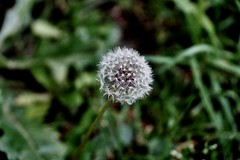 The Dandelion (jemil.memedi22) Tags: flower grass stem sony australia victoria dandelion wishing a77