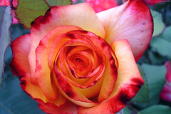 "Rainbow Sorbet Rose closeup • <a style=""font-size:0.8em;"" href=""http://www.flickr.com/photos/34843984@N07/15521829036/"" target=""_blank"">View on Flickr</a>"