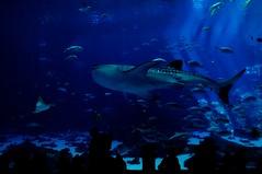 Ruler of the Sea (theresabumbaco) Tags: ocean blue atlanta sea people fish contrast dark georgia aquarium shark nikon downtown ray darkness box stingray crowd whale sharks rays ruler stingrays of d5000