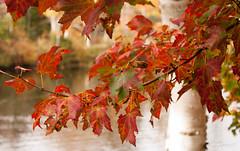 Shubie Park - Fall Colours (londa.farrell) Tags: park autumn trees fall nature leaves canon novascotia canonrebel dslr canondslr fallcolours shubiepark canonrebelxsi canonxsi