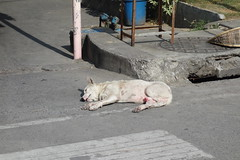 wet dream? (the foreign photographer - ฝรั่งถ่) Tags: road street dog white thailand penis bangkok erect bangkhen phahoyolthin