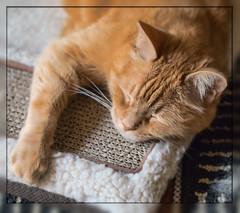 Slumber Time (gtncats) Tags: pet cat feline nap sleep tabby orangetabby catnapping canon70d photographyforrecreation infinitexposure ef100mmf28lmacrolens