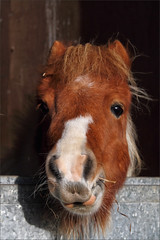 Hamish II (meniscuslens) Tags: horse trust pony shetland rescue miniature mane stable sunlight charity buckinghamshire