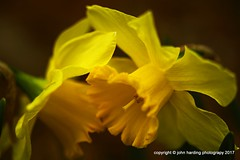 Infatuation (T i s d a l e) Tags: tisdale infatuation daffodils flower winter february 2017 easternnc