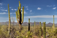 Greens and Blues (Saguaro National Park)