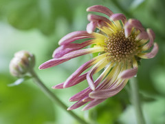 Chrysanthemum morifolium (Helen Lundberg Photography) Tags: chrysanthemummorifolium flower macro bokeh pastel plant krysantemum