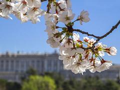 Primavera Real (Paz .) Tags: cerezo