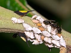 Treehoppers, Enchenopa ignidorsum (Eerika Schulz) Tags: rio piatua treehoppers enchenopaignidorsum puyo ecuador pastaza