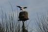 Störche sind auch nur Vögel - an der Kirche; Bergenhusen, Stapelholm (20)