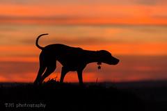 Little Star (T J G photography) Tags: d610 silhouette vizsla sunset bristol nikon clouds cloud 200mm sky star 70200 upton cheyney dog nikkor