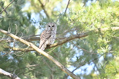Barred Owl (jrlarson67) Tags: barred owl raptor bird tree
