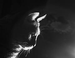 IMGP7330 (graemes83) Tags: pentax jupiter dailyin cat bengal flash