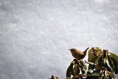 Eurasian Wren (_Amritash_) Tags: bird birding eurasianwren wren snow winter winterbirding khaliyatop khaliyaforest forest troglodytestroglodytes birdsofhimalayas uttarakhand wild wildlife himalayanwildlife troglodytes