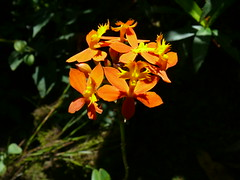 orchids on trail Papau New Guinea (Pete Read) Tags: orchids papau new guinea