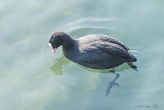 FOLAGA   ---   COOT    ----    EXPLORE (cune1) Tags: uccelli birds animali animals italia italy peschieradelgarda minincio acqua water natura nature