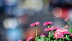 IMG_0715 (::Lens a Lot::) Tags: bokeh depth field street photography flower color blue pink red yellow green vintage manual prime lens german profondeur de champ extérieur effet plante fleur carlzeissjena fond noir carl zeiss jena biotar t 58mm f2 1q 1952 | 12 blades m42 macro
