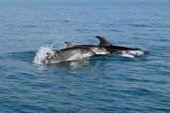 Dolphin trio (karen leah) Tags: dolphin bottlenose sea ceredigion trio