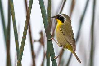 Common Yellowthroat 7D678614 (04/11/17)