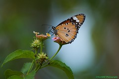 Lovely butterfly :) (Geeth67) Tags: butterfly butterflies nature garden wild sommerfugl natur srilanka sommer sumer hisissoveryl ovely this is very lovely dear geetha ngc npc