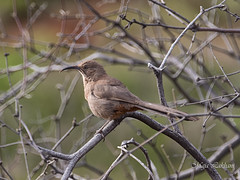 Crissal Thrasher (Maja's Photography) Tags: birds crissalthrasher dessert wildlife wilderness wings brown nature naturephotography mountains marsh feathers forest fantasticnature
