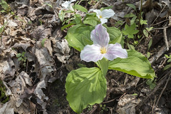 Trillium grandiflorum, Blue Spring Railroad Grade, White County, Tennessee 4 (Chuck Sutherland) Tags: trilliumgrandiflorum whitetrillium largefloweredtrillium greatwhitetrillium whitewakerobin trilleblanc white wildflower flower bluespring railroadgrade whitecounty tennessee tn pink