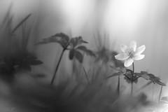 ... (montier_isabelle) Tags: fleur printemps anémonesylvie forêt whiteandblack innamoramento