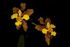 Gomesa ciliata 2017-03-21 02 (JVinOZ) Tags: orchidspecies orchid gomesa