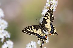 Schwalbenschwanz │ Swallowtail │ Papilio machaon (Bluesfreak) Tags: schwalbenschwanz papiliomachaon swallowtail schmetterlinge tagfalter unterfranken spessart insekten
