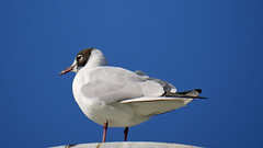 Black headed gull (Matt C68) Tags: bird birds gloucester park basildon gull seagull pond chroicocephalus ridibundus black headed blackheaded