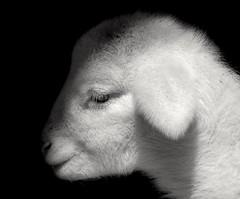 INOCENCIA (ROGE gonzalez ALIAGA) Tags: animales tranquilidad cordero blancoynegro sierradelsegura sombras shadow brillo brightness