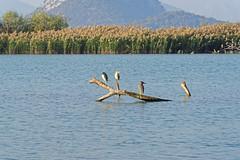 Skadar 05 (mpetr1960) Tags: skadar montenegro grass lake landscape bird birds water nikon d810