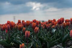 Orange tulips (2AnNa3) Tags: bloeien lente spring colour kleur tulpen tulips oranje orange