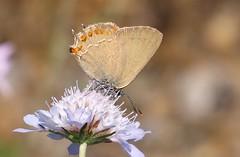 Satyrium esculi (J Carrasco (mundele)) Tags: valledevio pndeordesaymonteperdido huesca pirineos insectos mariposas rhopalocera lycaenidae satyrium