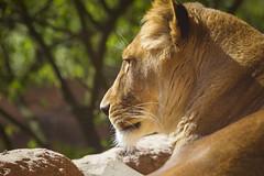 Löwendame (DeanB Photography) Tags: eisbär nanug erlebniszoohannover zoo hannover raubtiere raubtier tiere tier animal animals canon 1d mark iv 1dmkiv tierpark tierwelt