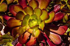 Aeonium (Thad Zajdowicz) Tags: nature plant desert succulent flora botany zajdowicz pasadena california availablelight lightroom canon eos 5dmarkiii dslr digital primelens 50mm ef50mmf12lusm 5d3 huntingtongardens outdoor outside color green red colour aeonium