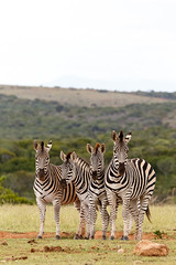 The Zebra family pose (charissadescande) Tags: africa natural safari herd william mammal standing look animal plains subspecies wild herbivore way naturalist black burchells quagga white lines eating stripes grass explorer south closeup zebra sky time national pattern outdoors nature african burchell striped after john wildlife southern travel background british camera grassland park named green wilderness field