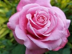 Rosa (Helenɑ) Tags: rose rosa corderosa flower